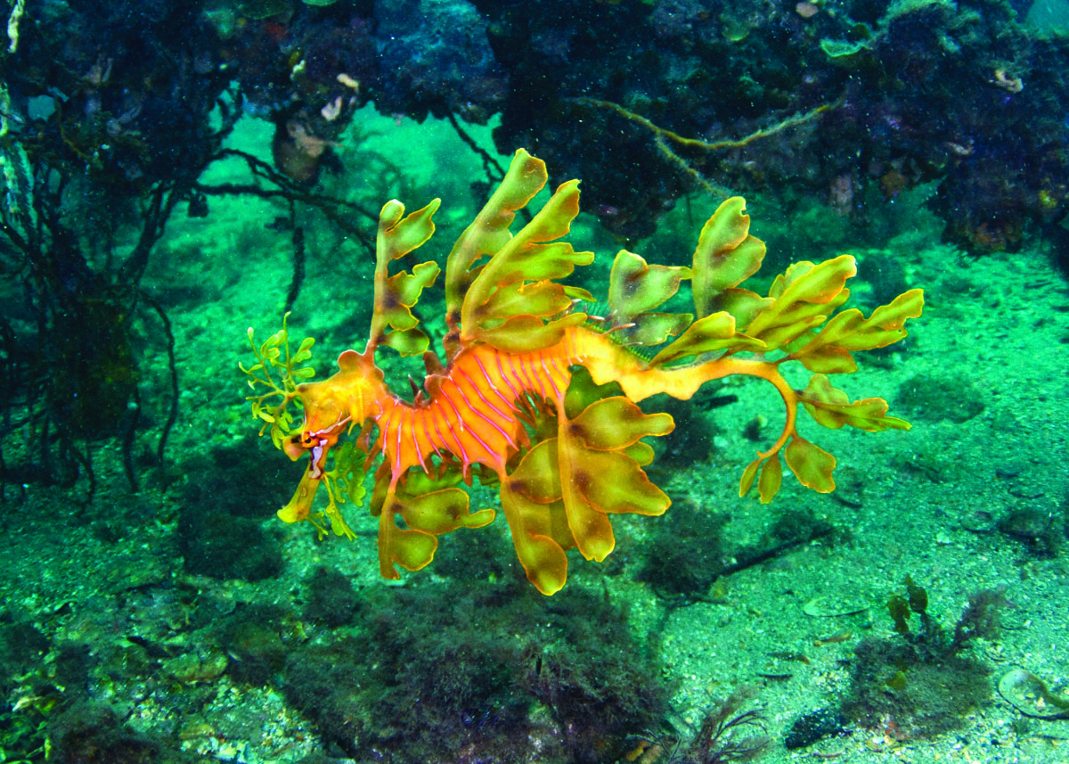 Leafy Sea Dragon Art images